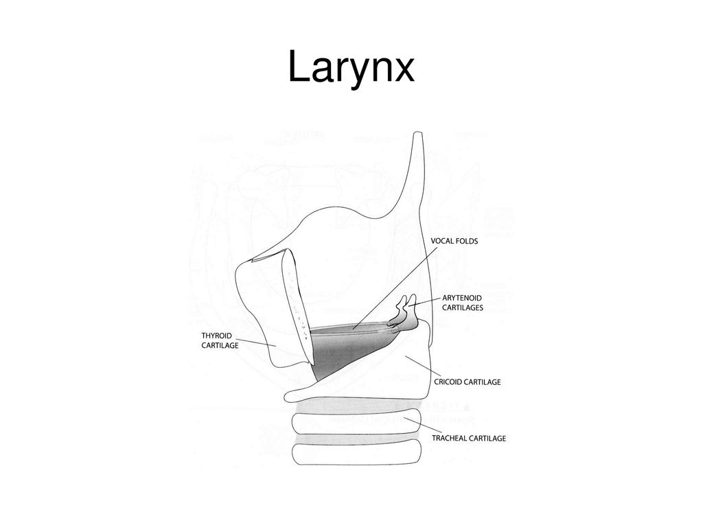 hight resolution of 6 larynx