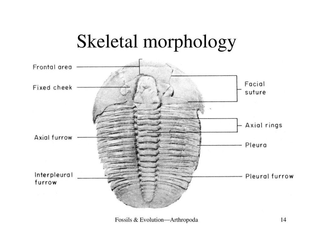 medium resolution of fossils evolution arthropoda