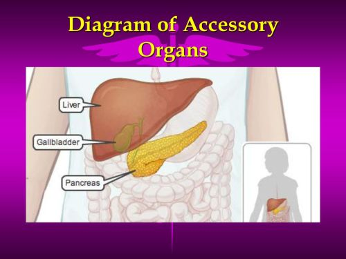 small resolution of 12 diagram of accessory organs