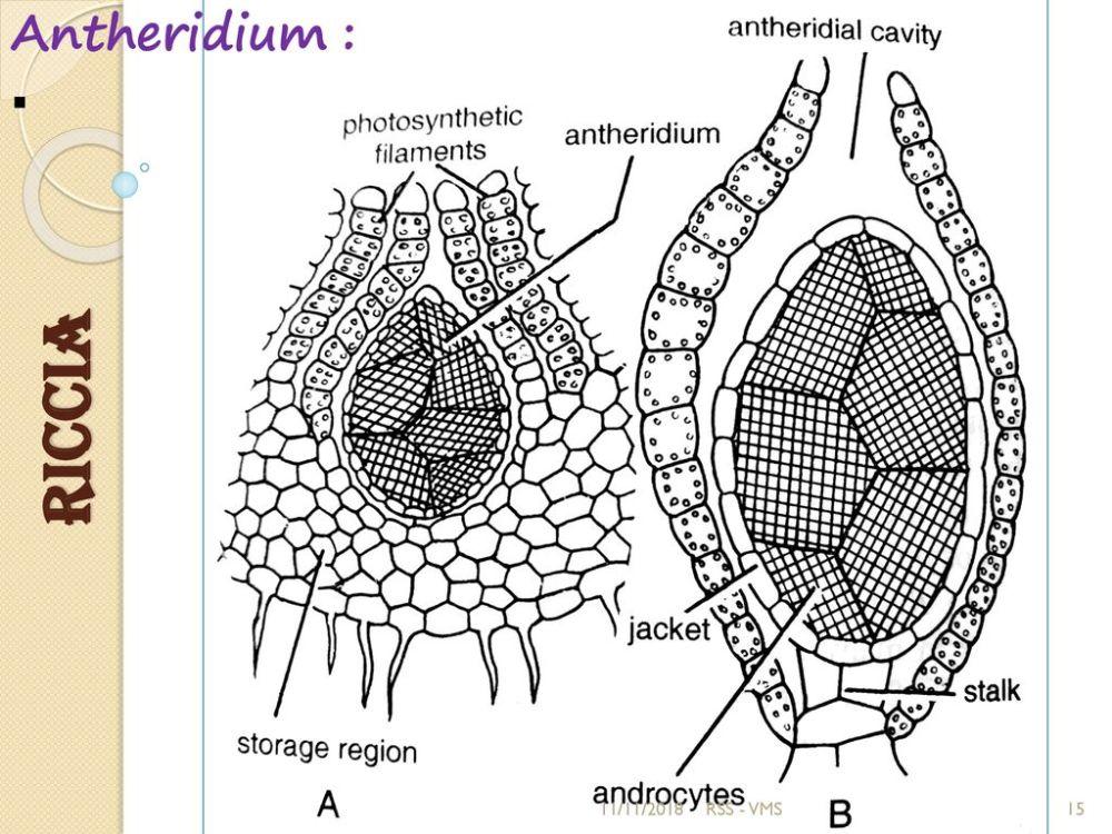 medium resolution of diagram of riccia wiring diagram expert diagram of riccia