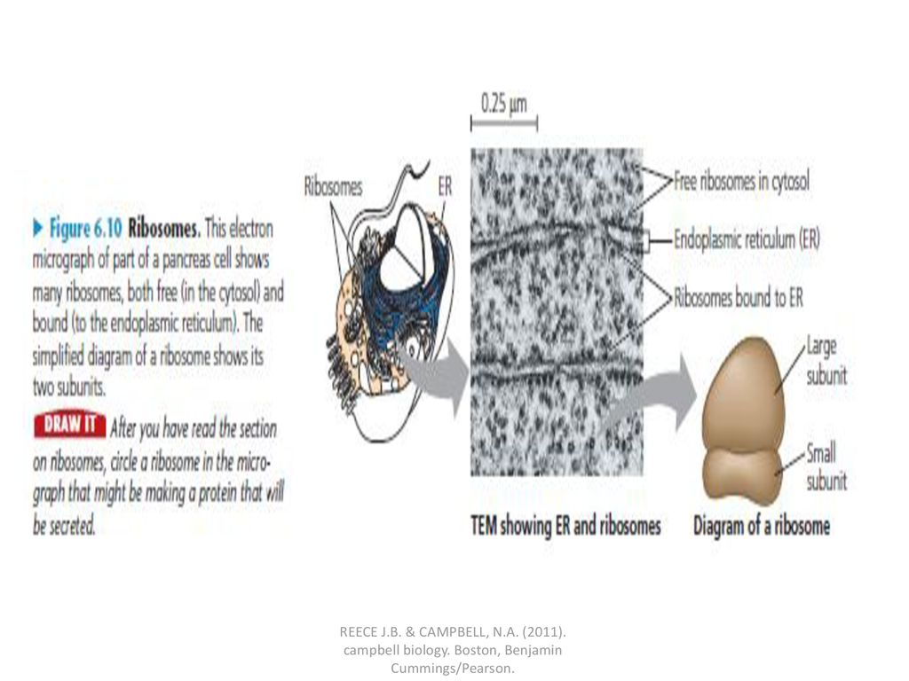 hight resolution of reece j b campbell n a 2011 campbell biology