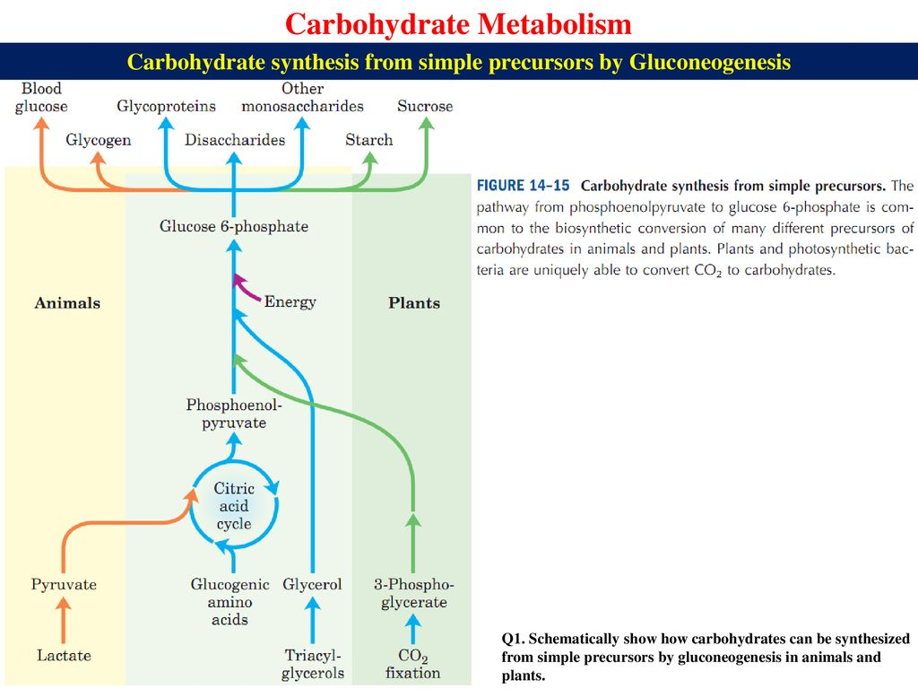 hight resolution of carbohydrate synthesis from simple precursors by gluconeogenesis