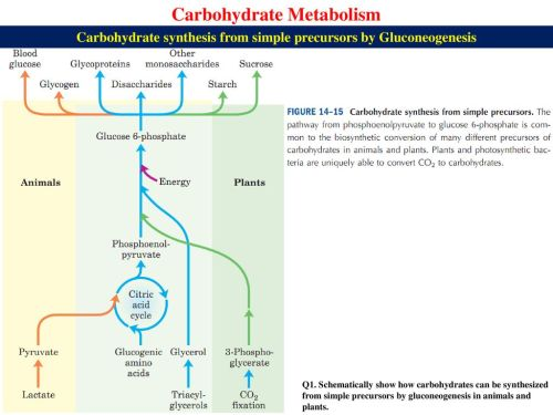 small resolution of carbohydrate synthesis from simple precursors by gluconeogenesis