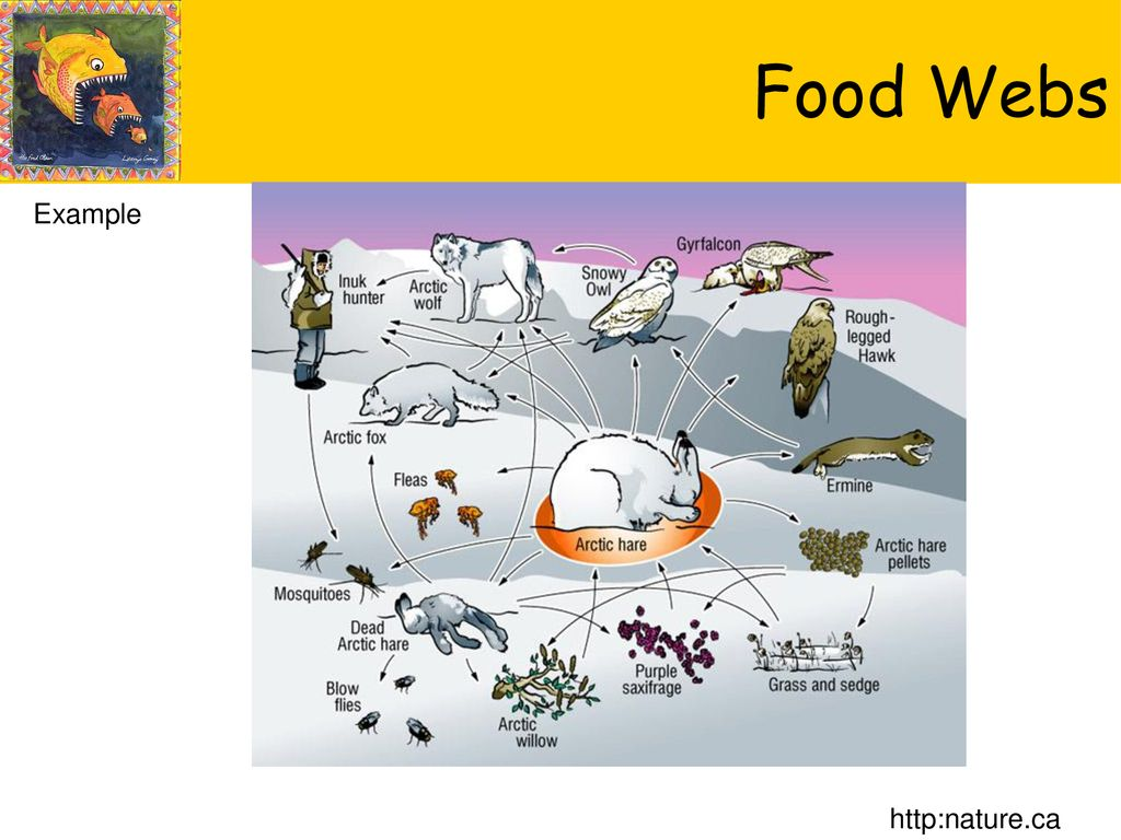 arctic fox food chain diagram 71 chevelle dash wiring www topsimages com classify as biotic or abiotic download jpg 1024x768