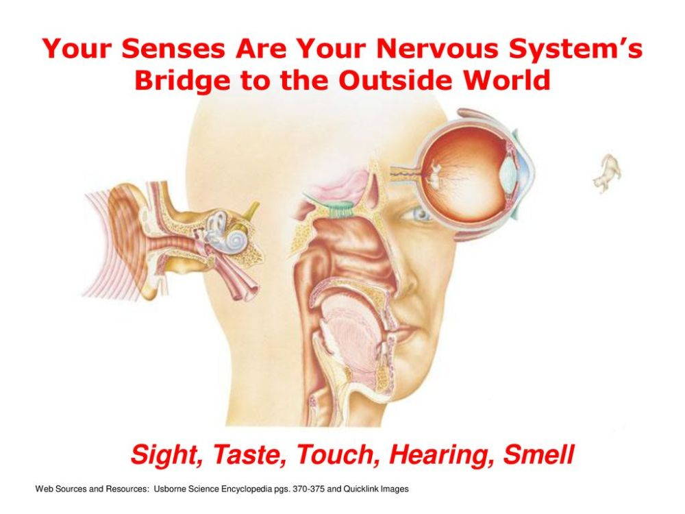medium resolution of your senses are your nervous system s bridge to the outside world