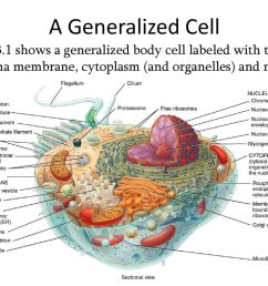diagram of human generalized cell wiring diagram view chapter 3 the cellular level of organization ppt [ 1024 x 768 Pixel ]
