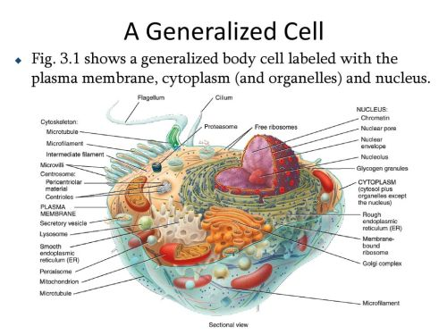 small resolution of diagram of human generalized cell wiring diagram view chapter 3 the cellular level of organization ppt
