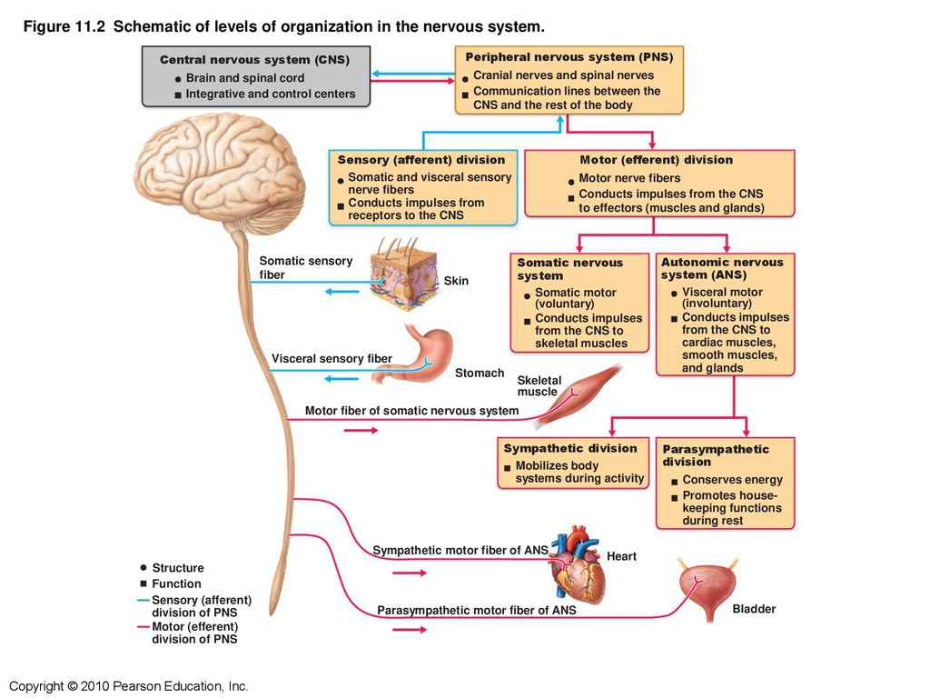 hight resolution of figure 11 2 schematic of levels of organization in the nervous system