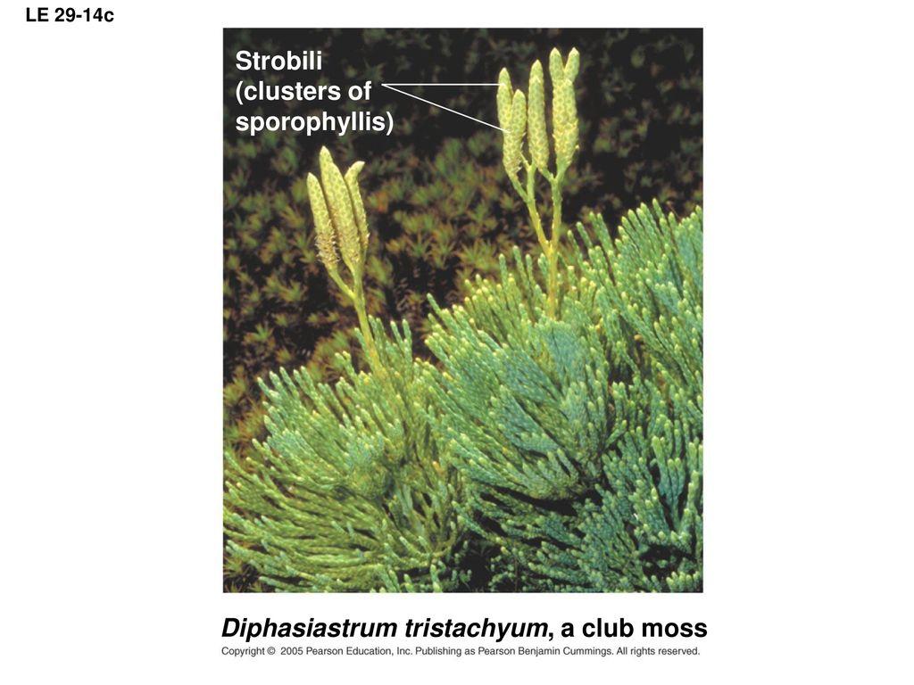 hight resolution of diphasiastrum tristachyum a club moss