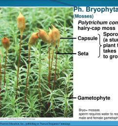 ph bryophyta polytrichum commune hairy cap moss sporophyte a sturdy [ 1024 x 768 Pixel ]