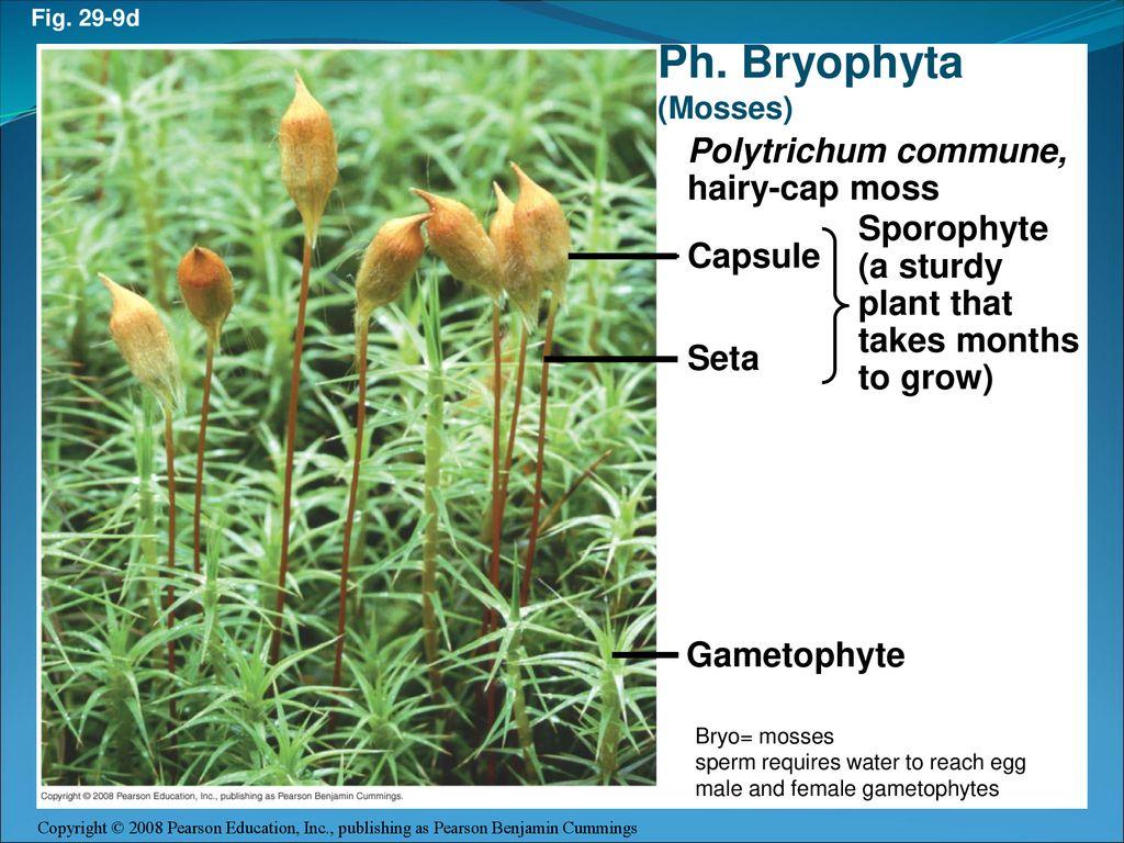 hight resolution of ph bryophyta polytrichum commune hairy cap moss sporophyte a sturdy
