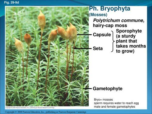 small resolution of ph bryophyta polytrichum commune hairy cap moss sporophyte a sturdy