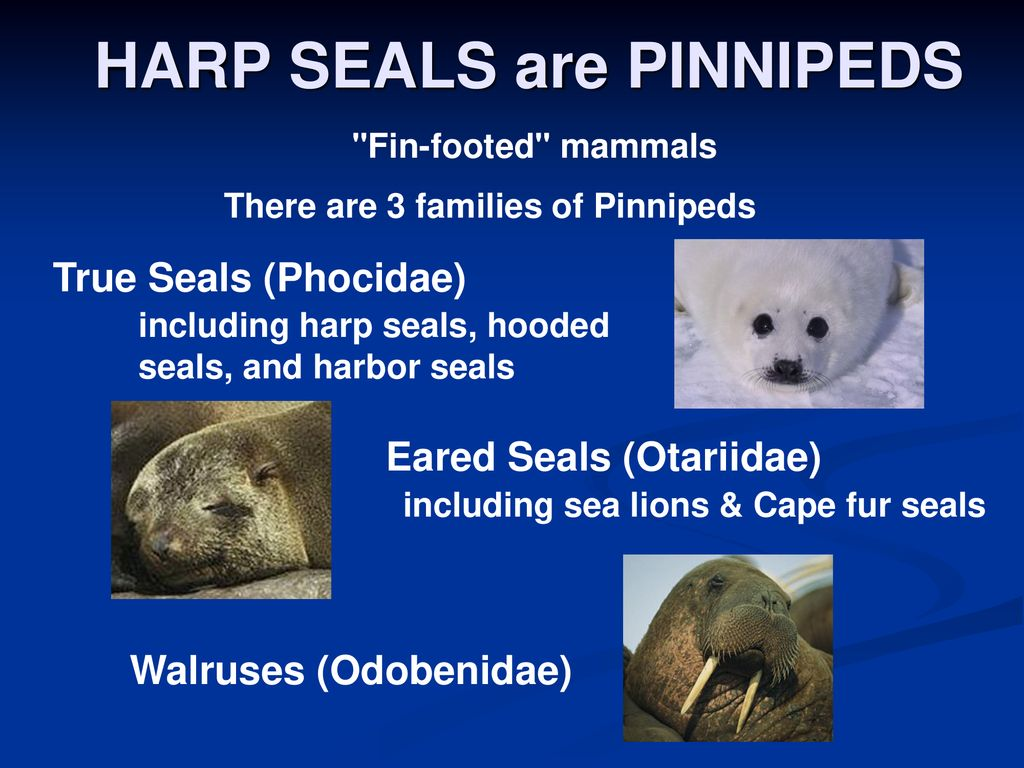 harp seal life cycle diagram trailer wiring 5 way www topsimages com seals canadas hunt download jpg 1024x768