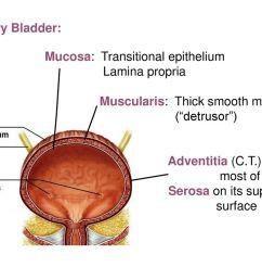 48 urinary bladder mucosa  [ 1024 x 768 Pixel ]