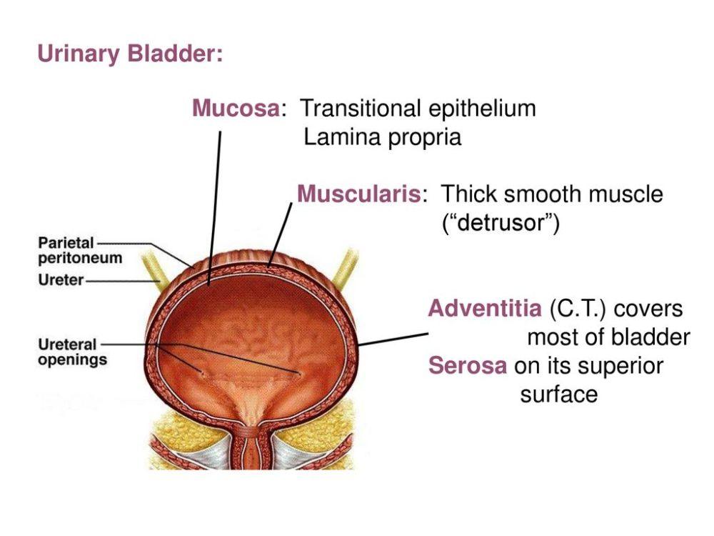 medium resolution of 48 urinary bladder mucosa