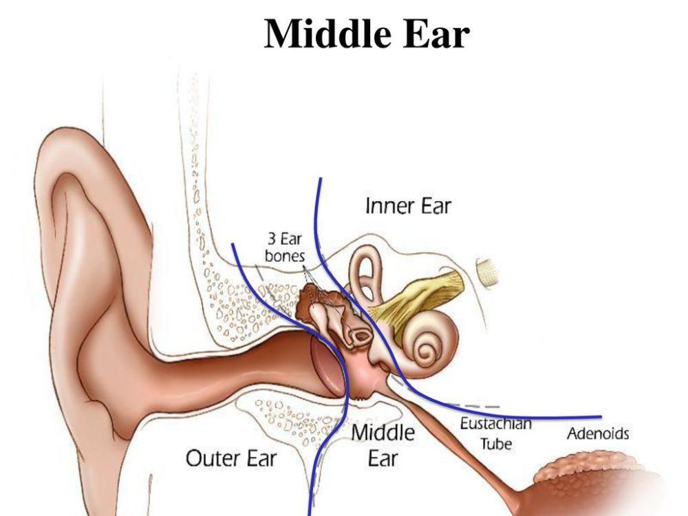 medium resolution of 3 middle ear