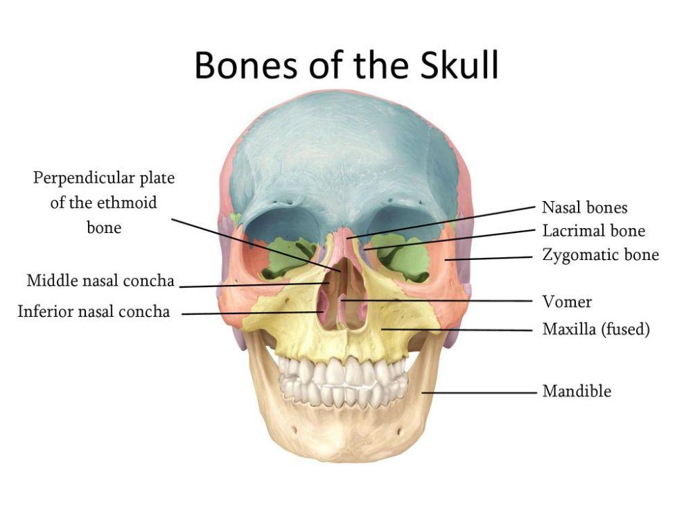 medium resolution of perpendicular plate of the ethmoid bone