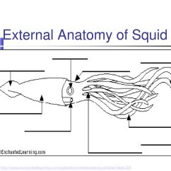 Labeled Squid External Anatomy Diagram 5 Wire To 4 Trailer Wiring Www Topsimages Com Bivalves Clams Etc Gastropods Conch Cephalopods Jpg 1024x768