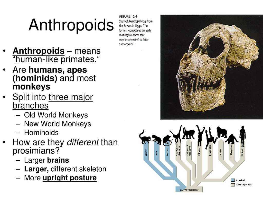 hight resolution of 6 anthropoids anthropoids
