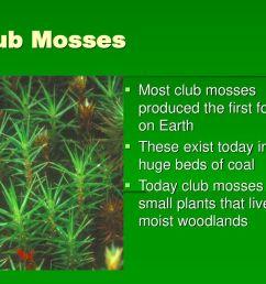 8 club mosses  [ 1024 x 768 Pixel ]
