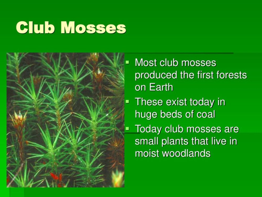 medium resolution of 8 club mosses