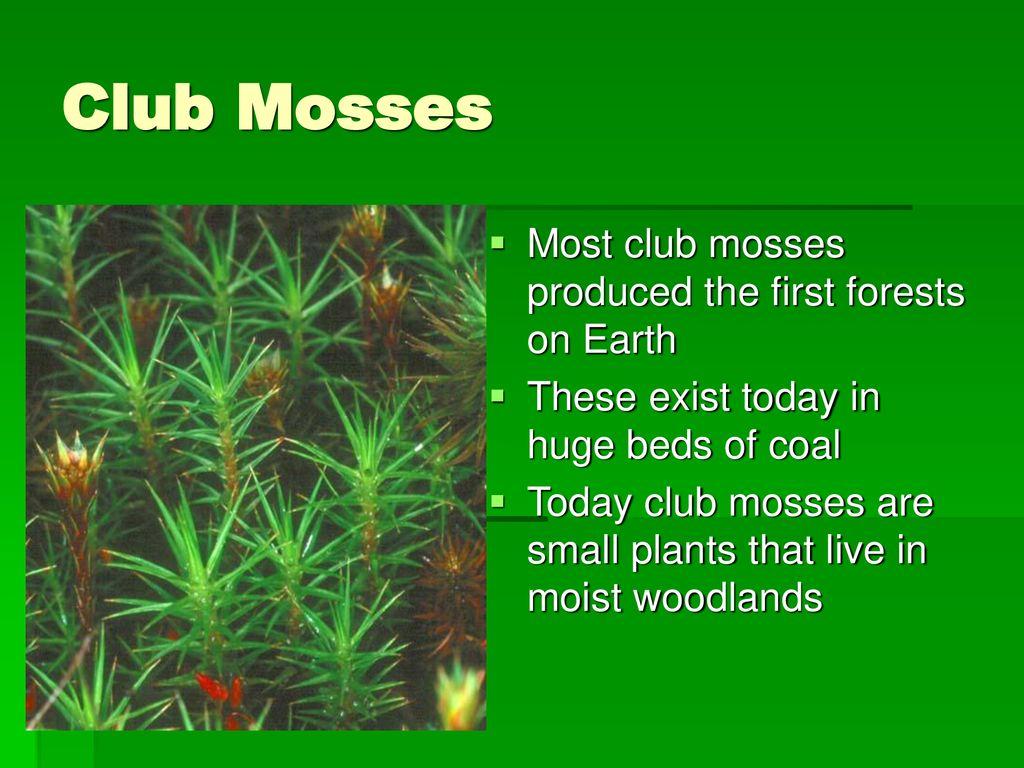 hight resolution of 8 club mosses
