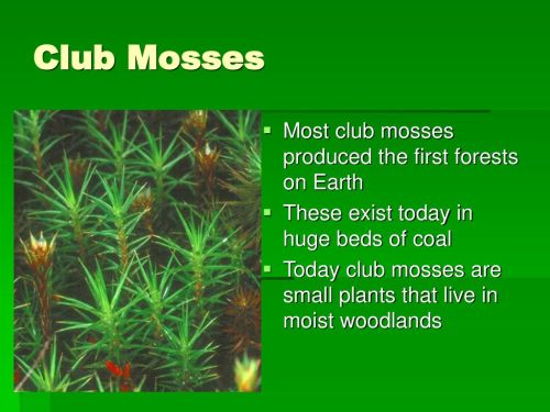small resolution of 8 club mosses