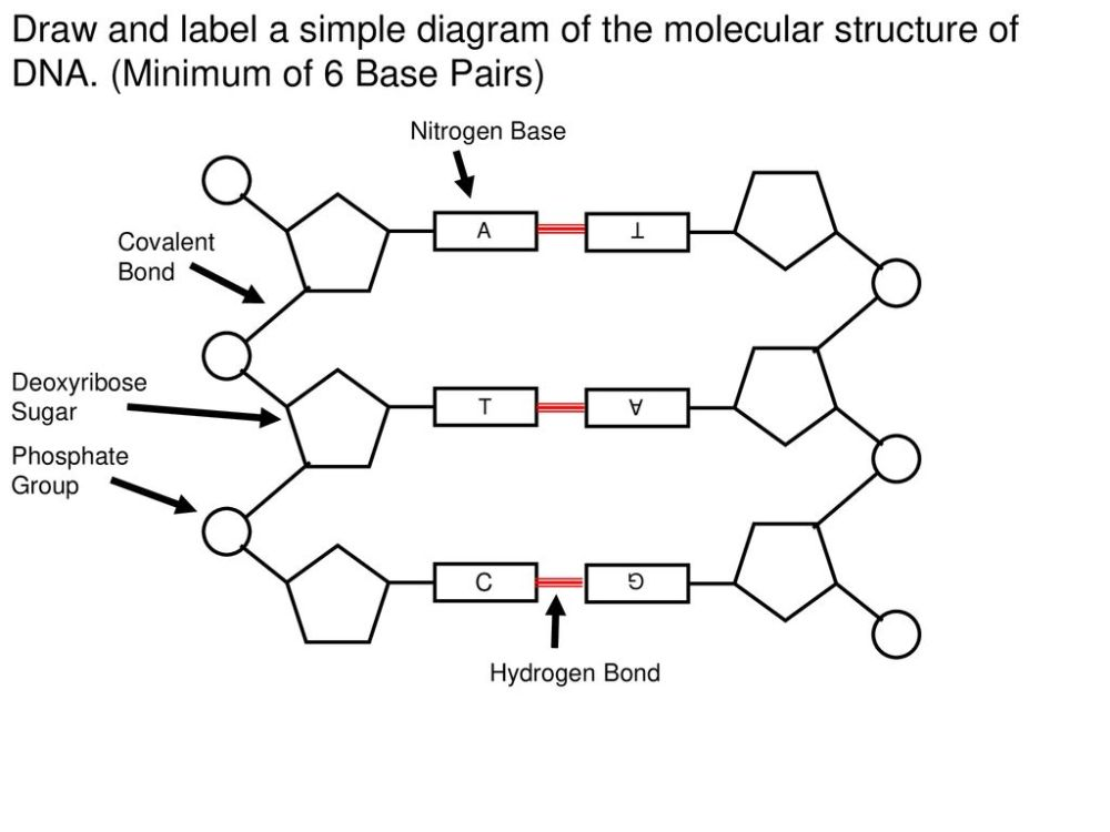medium resolution of draw and label a simple diagram of the molecular structure of dna
