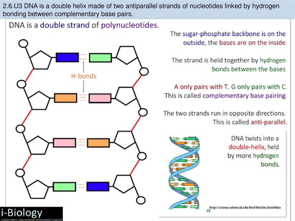 medium resolution of u3 dna is a double helix made of two antiparallel strands of nucleotides linked by hydrogen bonding between complementary base pairs