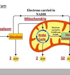 10 diagram mitochondria  [ 1024 x 768 Pixel ]