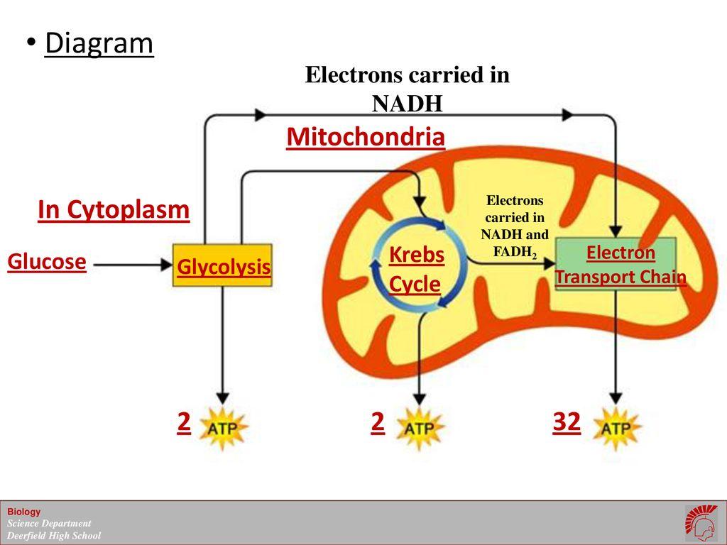 hight resolution of 10 diagram mitochondria