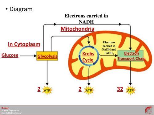 small resolution of 10 diagram mitochondria