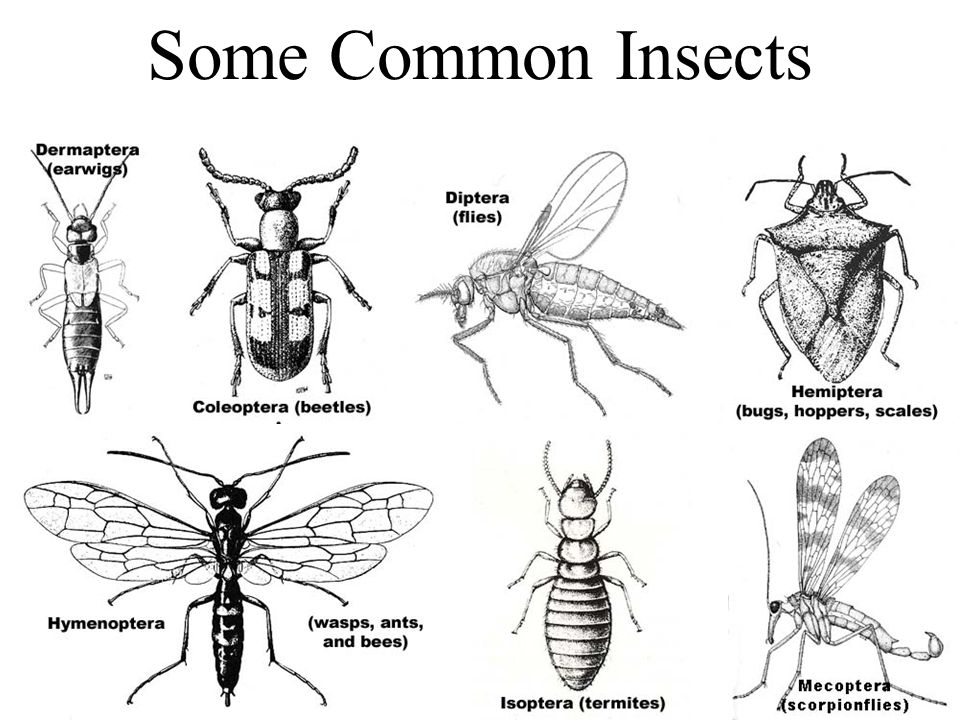Common Insect Orders Adapted from Berkeley Natural History