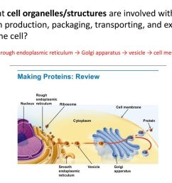 what cell organelles structures are involved with protein production packaging transporting [ 1024 x 768 Pixel ]