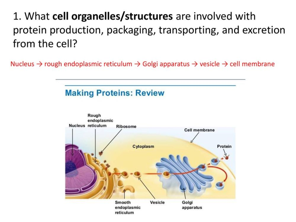 medium resolution of what cell organelles structures are involved with protein production packaging transporting