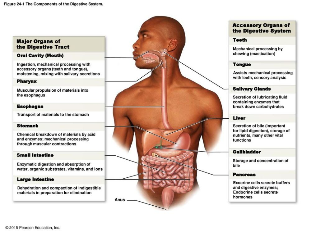 medium resolution of figure 24 1 the components of the digestive system