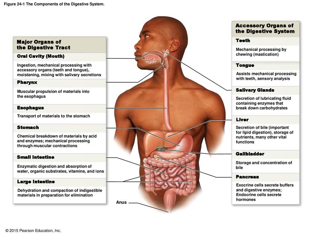 hight resolution of figure 24 1 the components of the digestive system