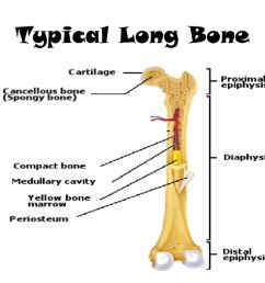 diagram of typical long bone long bone structure proximal epiphysis long bone diagram [ 1024 x 768 Pixel ]