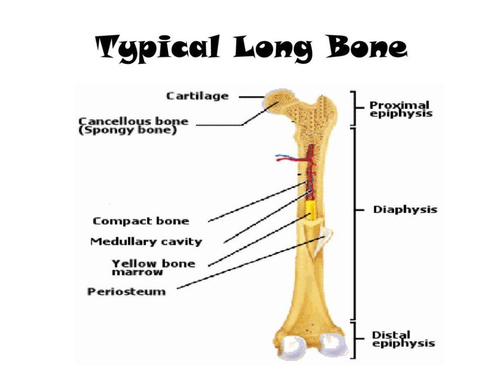 medium resolution of diagram of typical long bone long bone structure proximal epiphysis long bone diagram