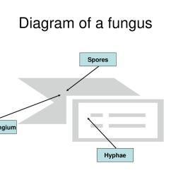 4 diagram of a fungus spores sporangium hyphae [ 1024 x 768 Pixel ]