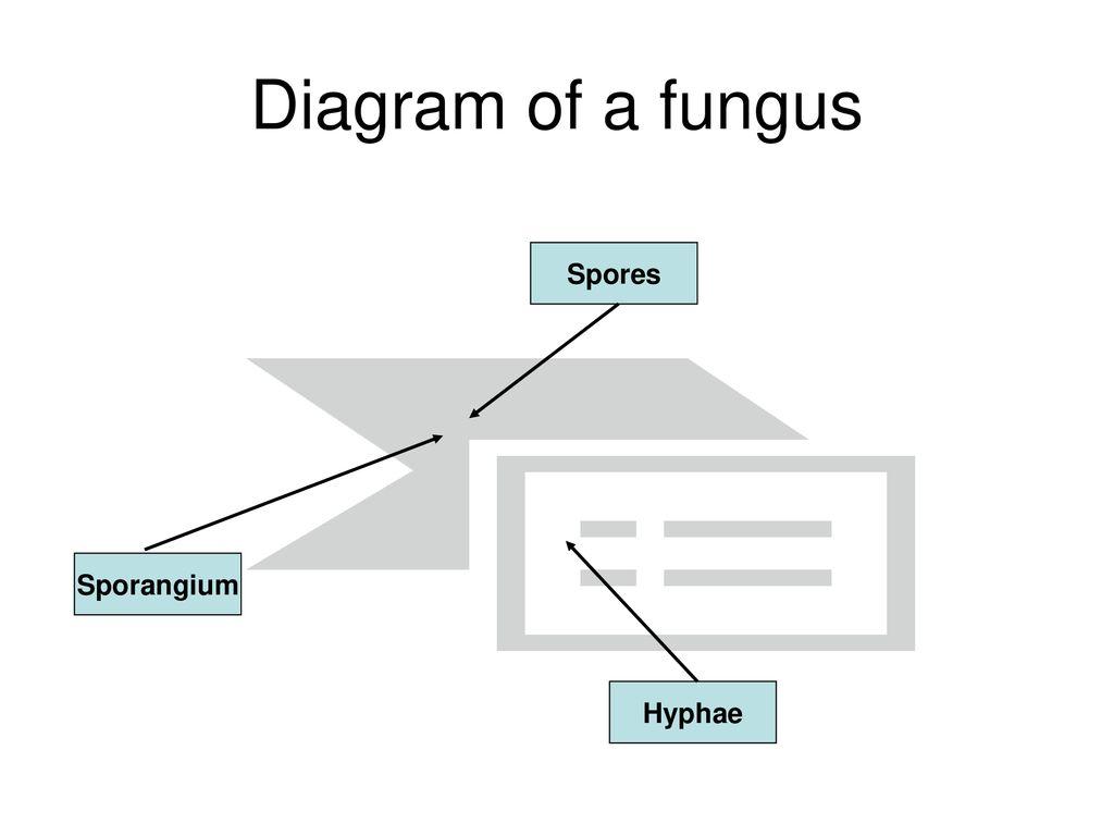 hight resolution of 4 diagram of a fungus spores sporangium hyphae