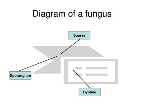 small resolution of 4 diagram of a fungus spores sporangium hyphae