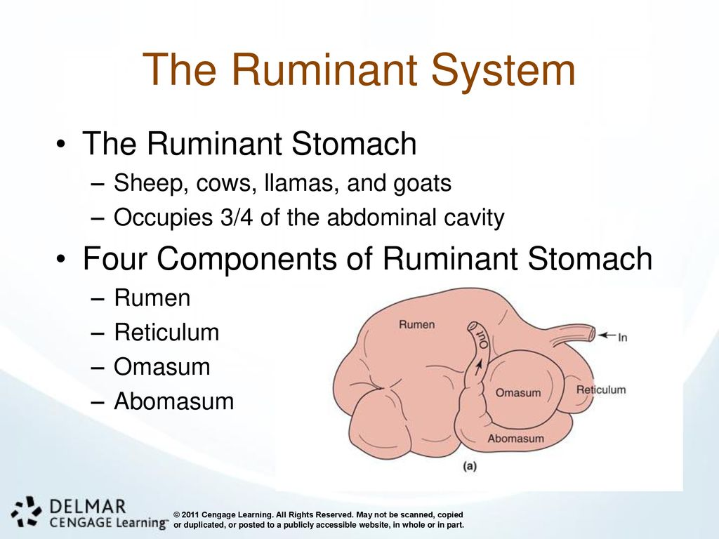 hight resolution of the ruminant system the ruminant stomach