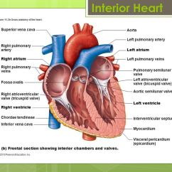 Interior Heart Diagram Emg 81 85 Active Wiring The Ppt Download 5