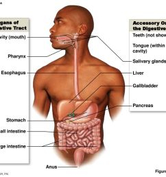 major organs of accessory organs of the digestive tract [ 1024 x 768 Pixel ]