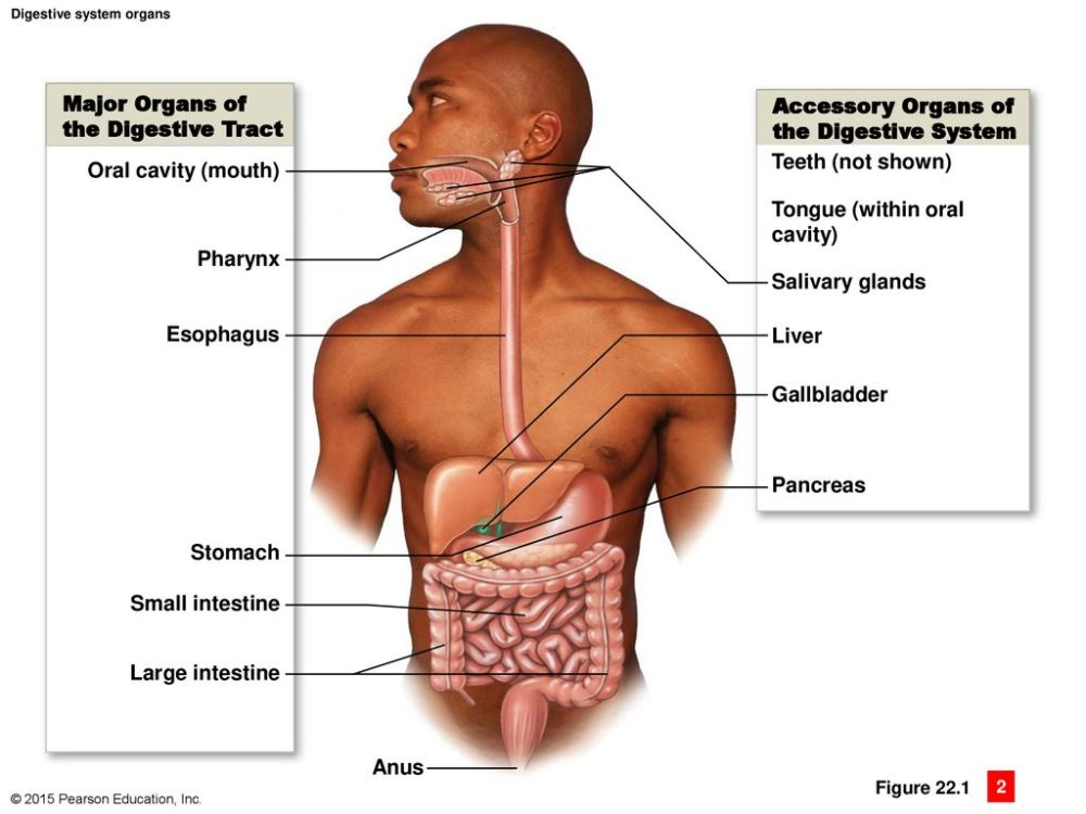medium resolution of major organs of accessory organs of the digestive tract