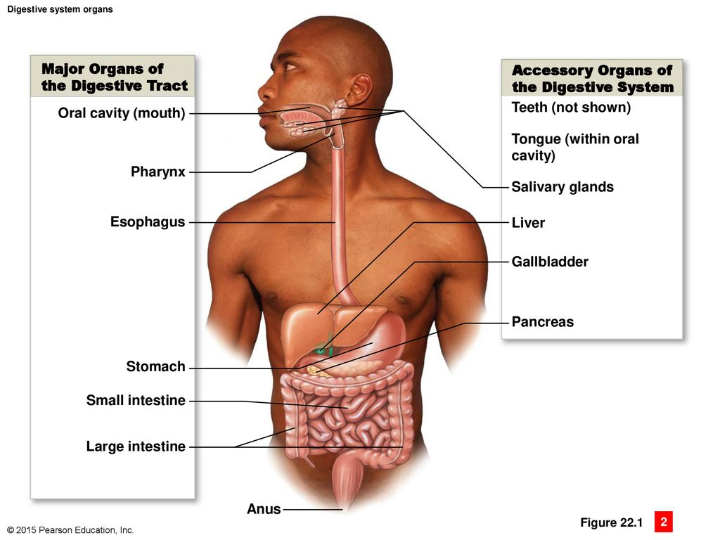 hight resolution of major organs of accessory organs of the digestive tract
