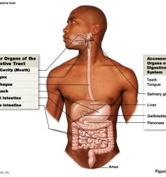 major organs of the digestive tract figure accessory [ 1024 x 768 Pixel ]