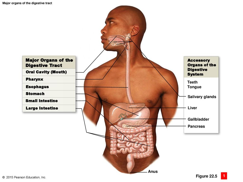 hight resolution of major organs of the digestive tract figure accessory