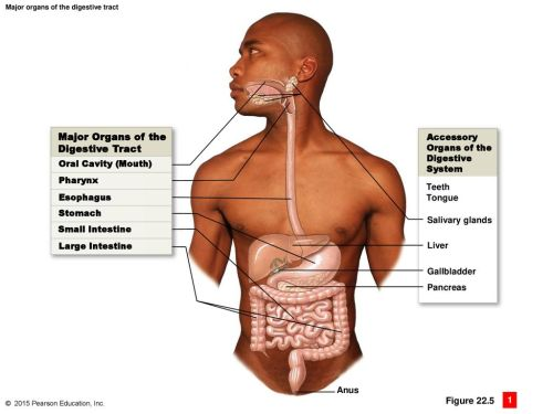 small resolution of major organs of the digestive tract figure accessory